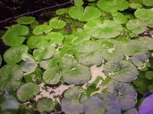Hydrocotyle leucocephala - Braziliaanse Waterklimop