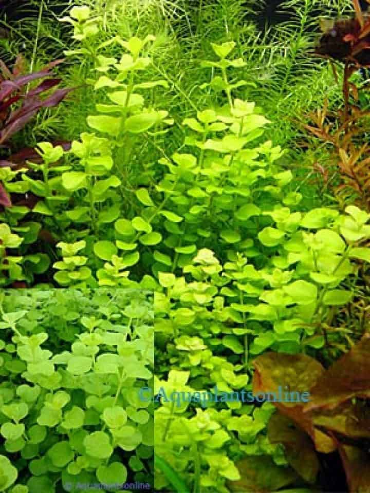 """Lysimachia nummularia """"Aurea"""" - Goud Penningkruid"""