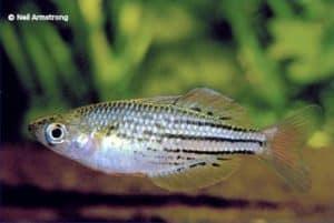 Melanotaenia maccullochi - Etty Bay