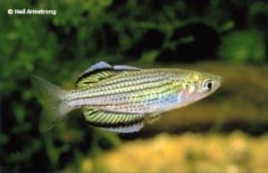 Melanotaenia maccullochi - Jardine River