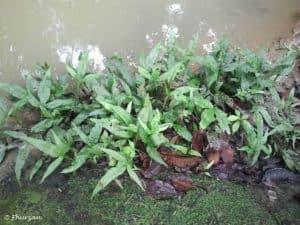Microsorum pteropus - Javavaren in het wild - Maleisië