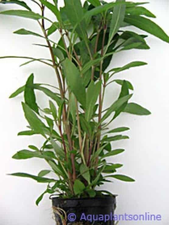 Nomaphila siamensis angustifolia