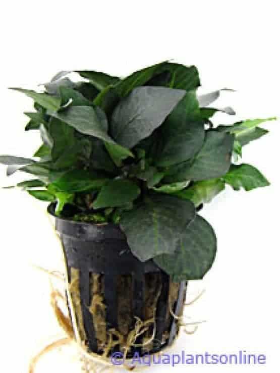 Nomaphila siamensis parvifolia