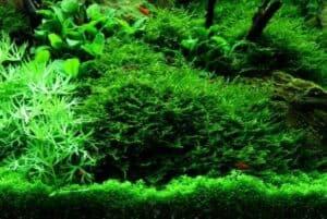Vesicularia montagnei - Christmas Moss in het aquarium