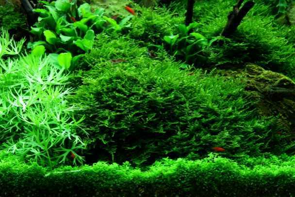 Vesicularia montagnei - Christmas Moss_in_het_aquarium