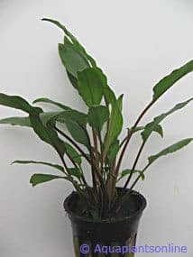 Cryptocoryne willisii