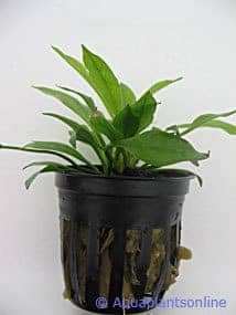 Echinodorus magdalenensis