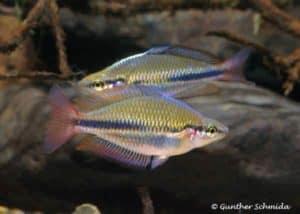 Melanotaenia trifasciata - Mary River - NT