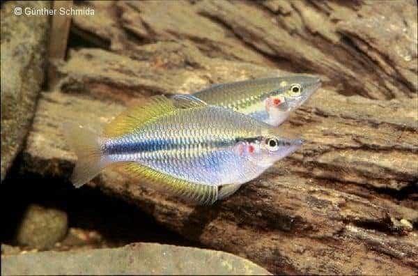 Melanotaenia trifasciata - Claudie River