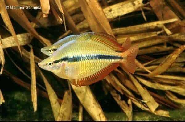 Melanotaenia trifasciata - Weipa