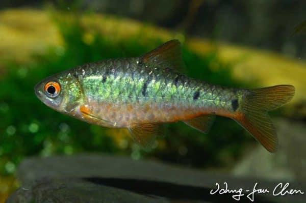 Puntius semifasciolatus - Wildkleur