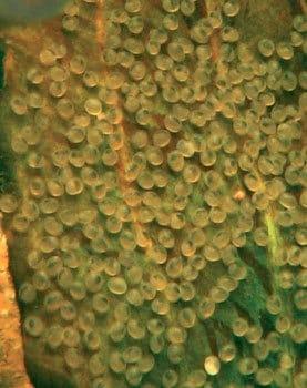 Thorichthys ellioti eieren