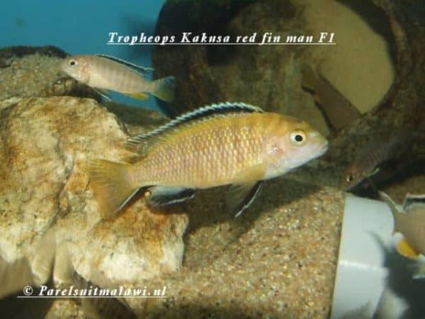 Tropheops kakusa - Red Fin - Man