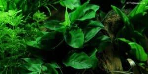 Anubias nana - Dwerg Anubias