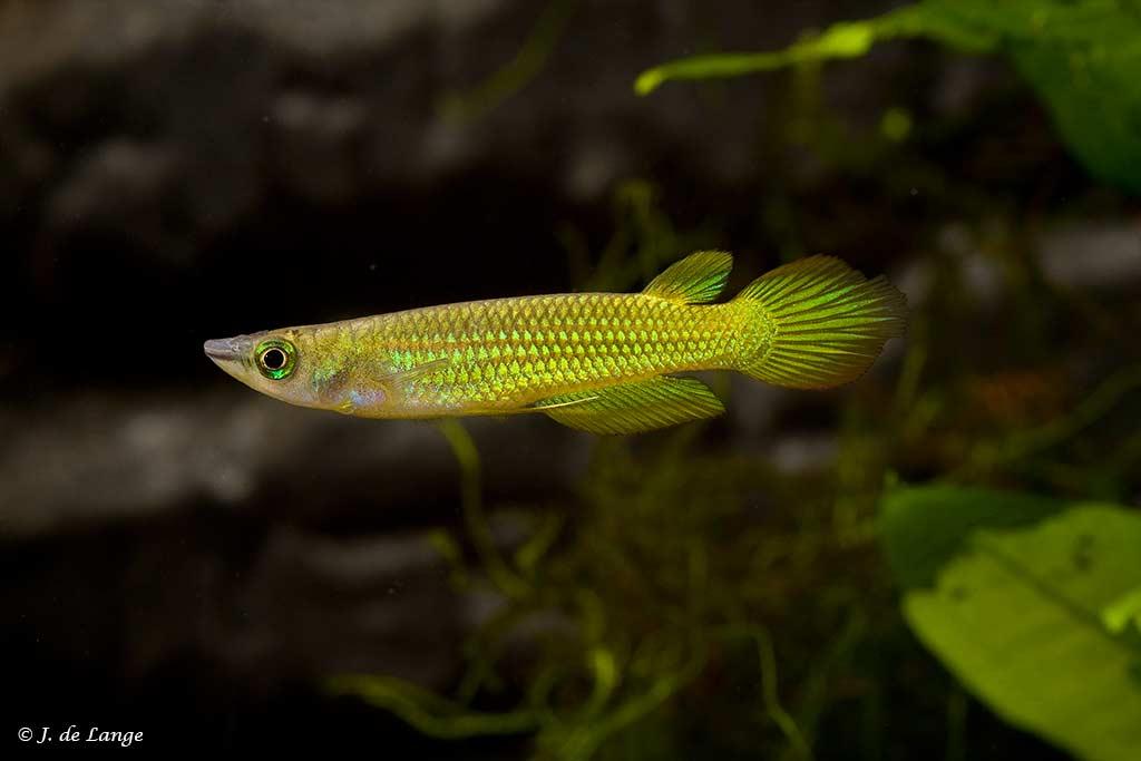 Aplocheilus lineatus - Gold
