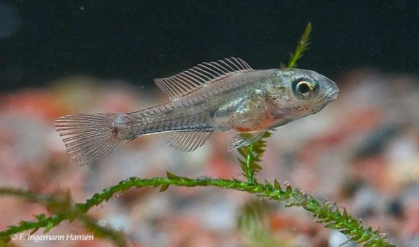 Biotoecus opercularis - Jong van 20 dagen oud - 10 mm lang