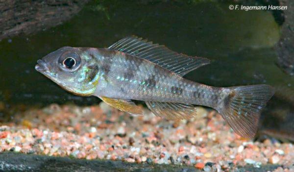 Biotoecus opercularis - Man