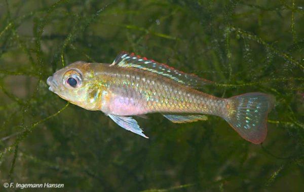 Biotoecus opercularis - Vrouw