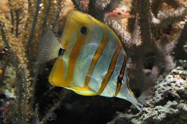 Chelmon rostratus - Pincetvis