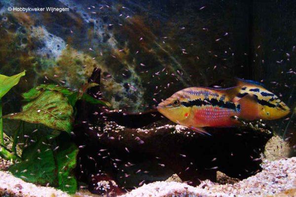 Trichromis salvini - Koppel met jongen