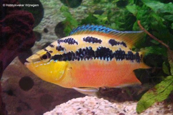 Trichromis salvini - Vrouw halfwas