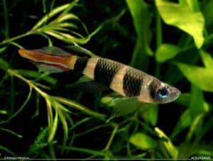 Epiplatys annulatus - Clown Killifish