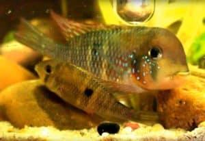 Gymnogeophagus labiatus - Rio Olimar - tijdens afzetten van de eieren