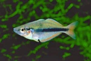 Melanotaenia oktediensis