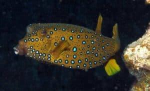 Ostracion cubicus - Gele koffervis - Volwassen