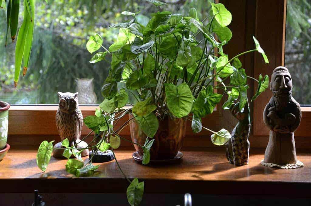 Planten voor de vensterbank niet voor het Aquarium
