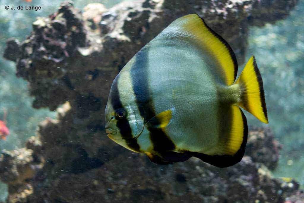 Platax orbicularis - Ronde Vleermuisvis
