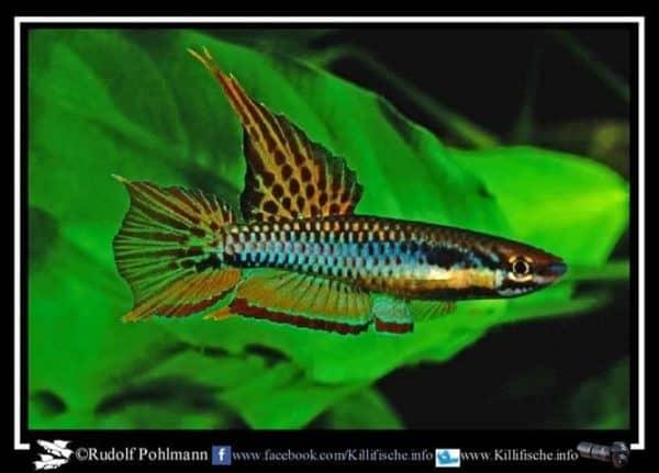 Aphyosemion bitaeniatum - Ibeju Creek