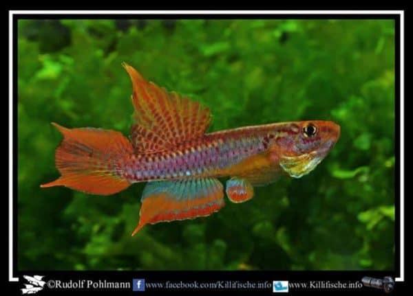 Aphyosemion bitaeniatum Ijaguna River