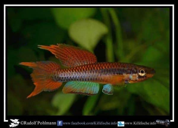 Aphyosemion bitaeniatum - Ijebu Ode