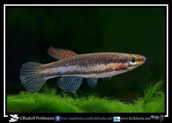 Aphyosemion bitaeniatum Lagos W a