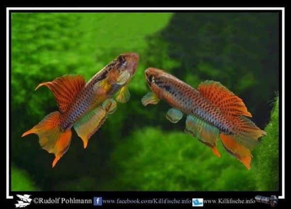 Aphyosemion bitaeniatum - Lagos
