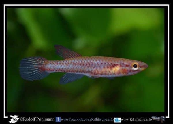 Aphyosemion bitaeniatum Porto Novo W a