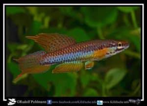 Aphyosemion bitaeniatum - Porto Novo