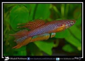 Aphyosemion bitaeniatum - Yemoji River