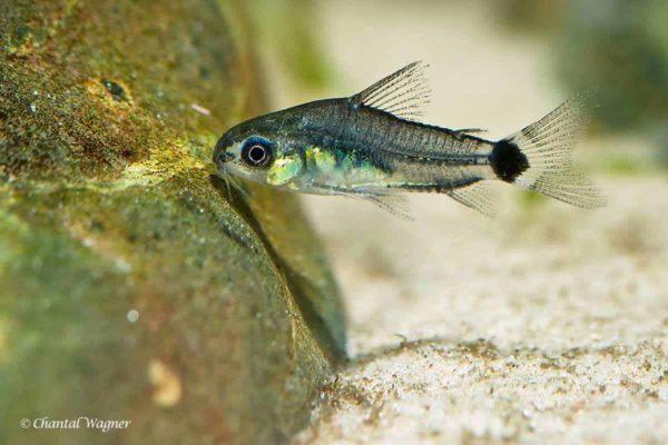 Corydoras hastatus - Dwerg Corydoras