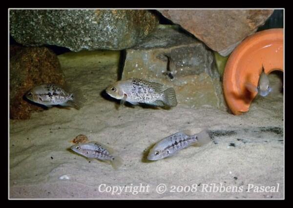 Herichthys pantostictus