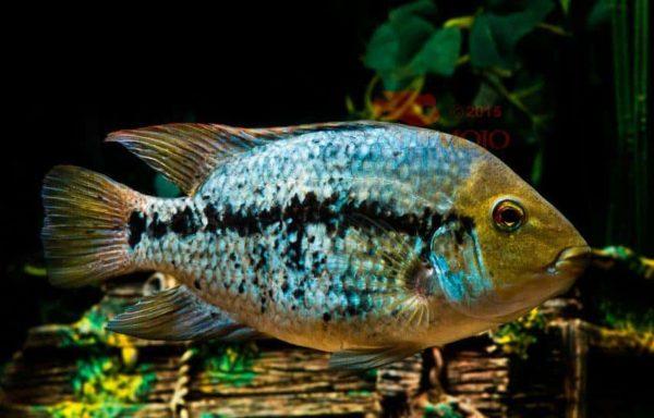 Herichthys pantostictus - Taninul Springs