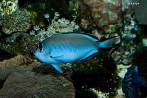 Genicanthus watanabei - Zwartrand Lierstaart Keizersvis