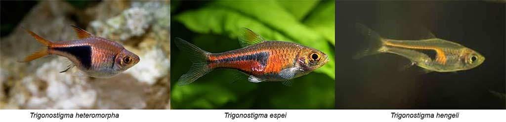 Verschil Trigonostigma heteromorpha - espei - hengeli