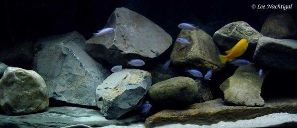 Metriaclima callainos - Aquarium
