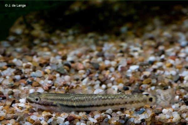 Stiphodon elegans - Vrouw