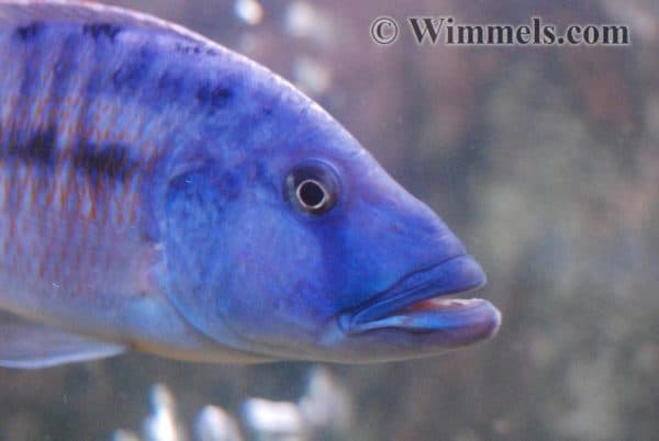 Tyrannochromis nigriventer - Man - Close up
