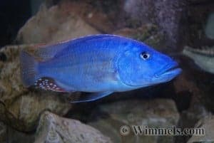 Tyrannochromis