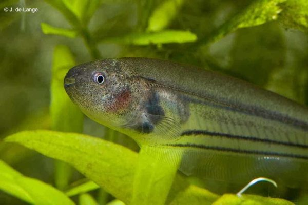 Een closeup van de kop van de Groene Mesvis.