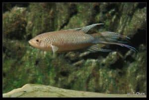 Macropodus erythropterus - Roodrugparadijsvis
